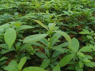 金丝楠木营养杯,江西省一年杯苗,造林,珍贵苗木,竹叶楠,小叶图片