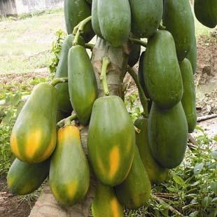 庭院果树苗盆栽木瓜树穗黄番木瓜树苗当年结果果树树苗大苗