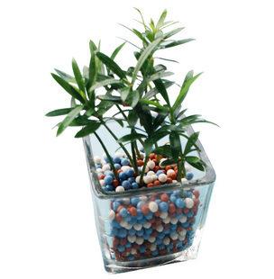 室内桌面盆栽花卉迷你水培植物日本罗汉松防辐射净化