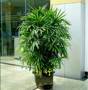 供应花木植物租摆绿化植物室内盆栽酒店租摆公司绿化棕竹