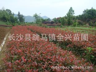 红叶石楠咨询中国最大的红叶石楠生产基地