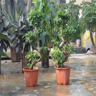 本公司长期大量销售榕树盆景两弯半-罗汉松-农苗网