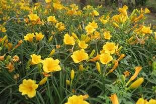 金娃娃萱草-蒙草抗旱绿化苗木-绿化地被-耐荫,耐旱,耐寒
