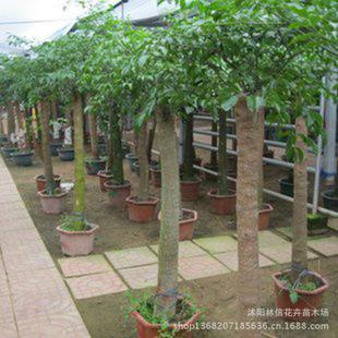 初恋大幸福树平安树大型植物客厅办公室盆栽绿宝观叶