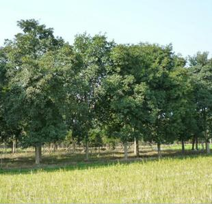 优质杜英d3--20cm山杜英杜英树行道树绿化