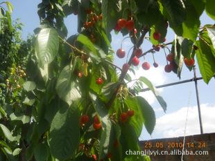 樱桃树大樱桃树供应商 樱桃树大樱桃树供应商 昌黎县绿艺果树发展中图片