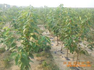 大樱桃树樱桃树指导价 大樱桃树樱桃树厂商 大樱桃树樱桃树厂商 图 图片