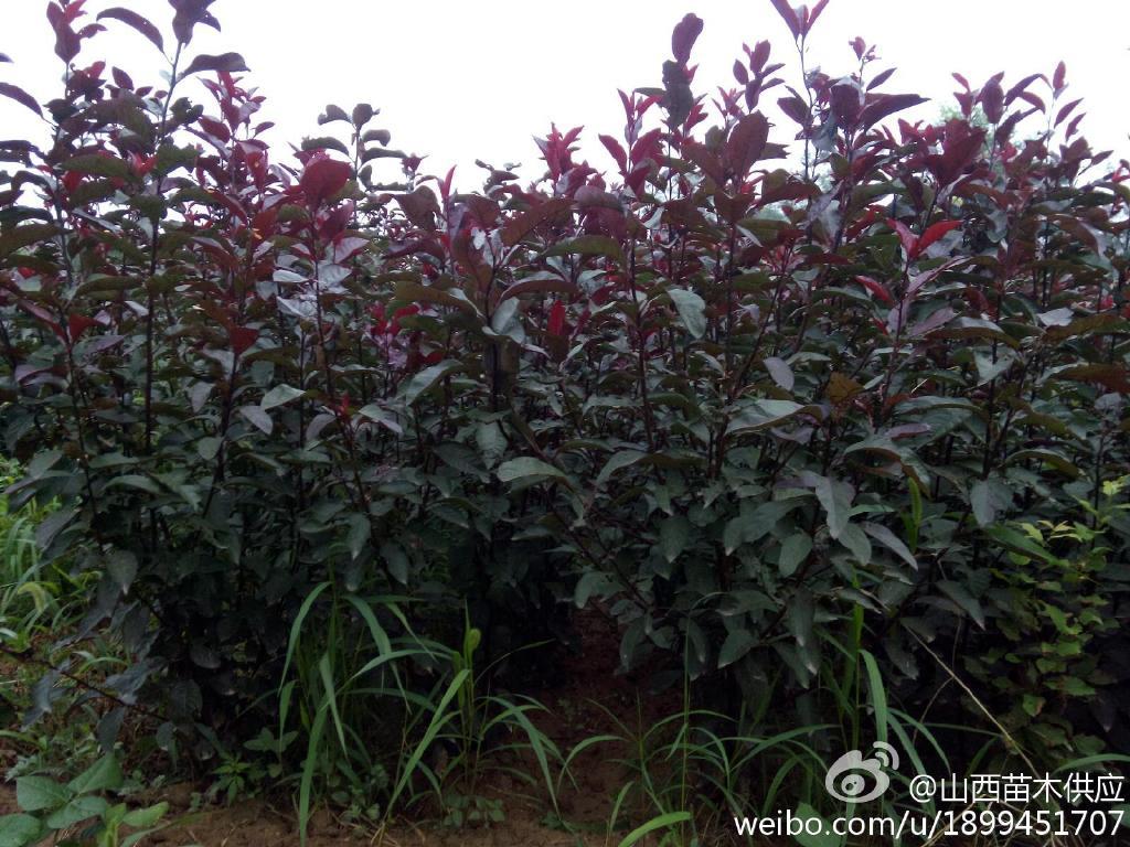 大量供应紫叶矮樱 紫叶李当年苗