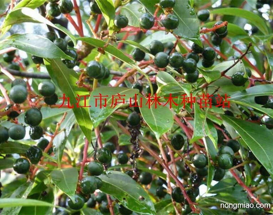 供应刨花楠种子 竹叶楠种子 批发园林绿化种子 林木种子图片