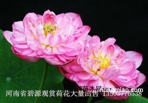 碗莲盆景荷花