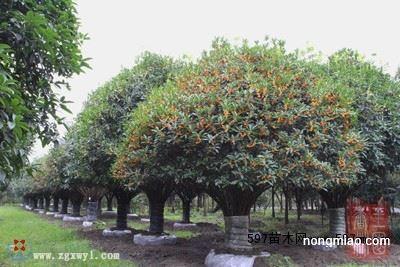 桂花工艺景观大树|桂花图片及价格-成都香王园林有限