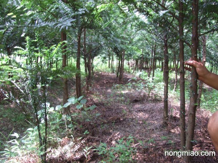 南方红豆杉大量供应|红豆杉图片及价格-绍兴苗木