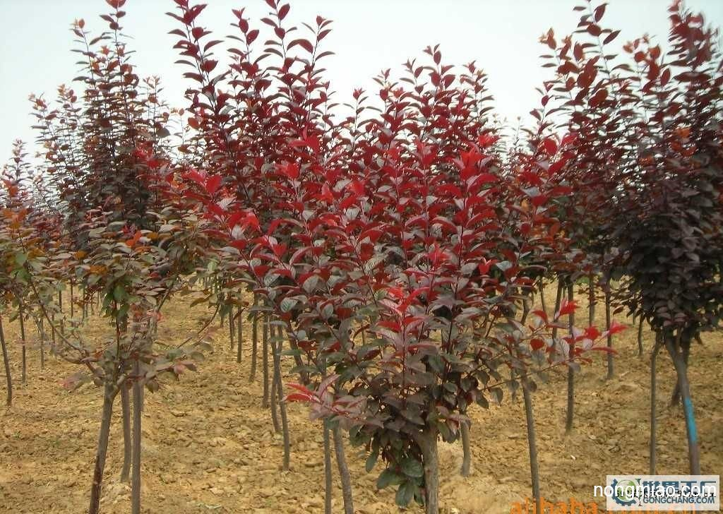 栾树,紫叶李,紫荆,紫藤供应图片