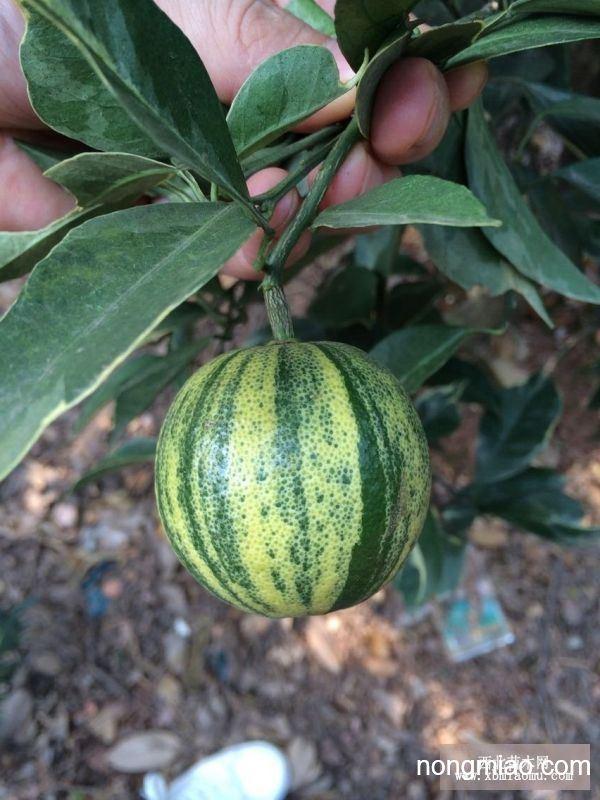 供应桔子新品种巴西彩叶桔