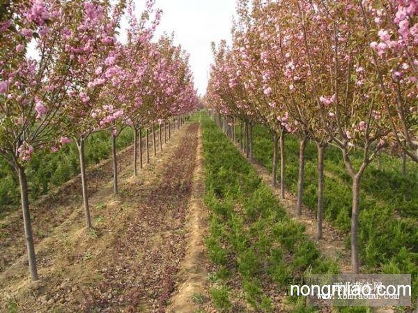 樱花树,樱花小苗,日本樱花