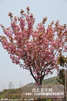 樱花季——樱花茶