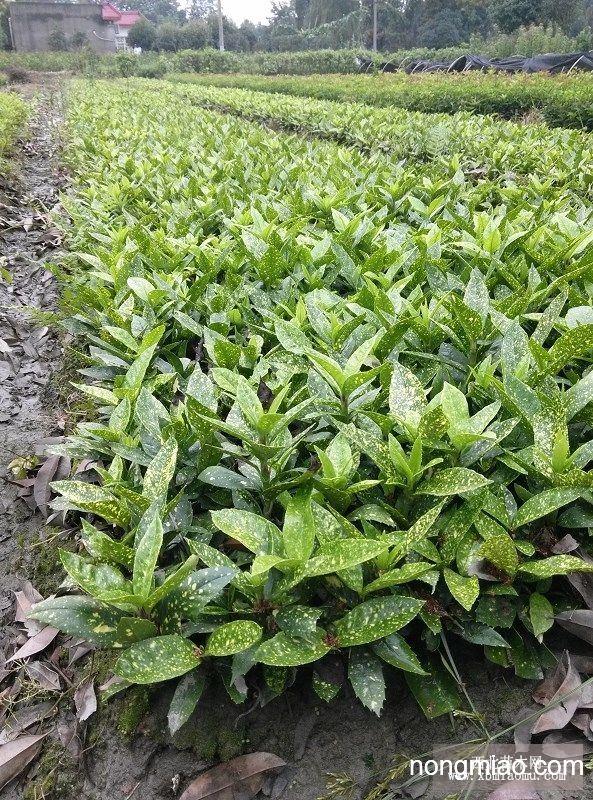 洒金珊瑚批发|常绿灌木图片及价格-成都绿篱园艺