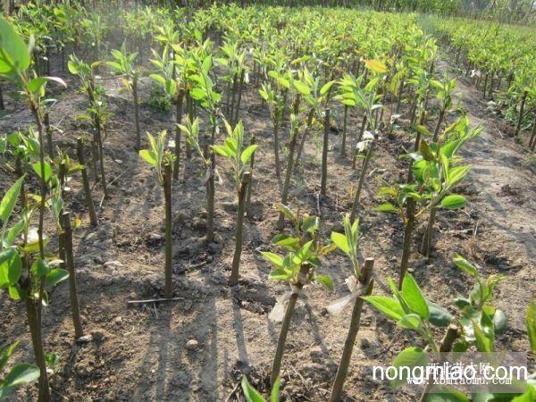 供应梨树苗|果树图片及价格-山东省泰安市泰信园艺场
