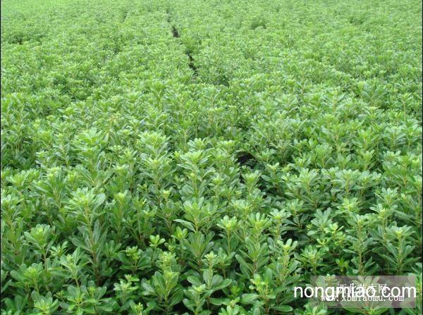 海桐球|海桐图片及价格-江苏省沭阳源禾缘花木园艺场