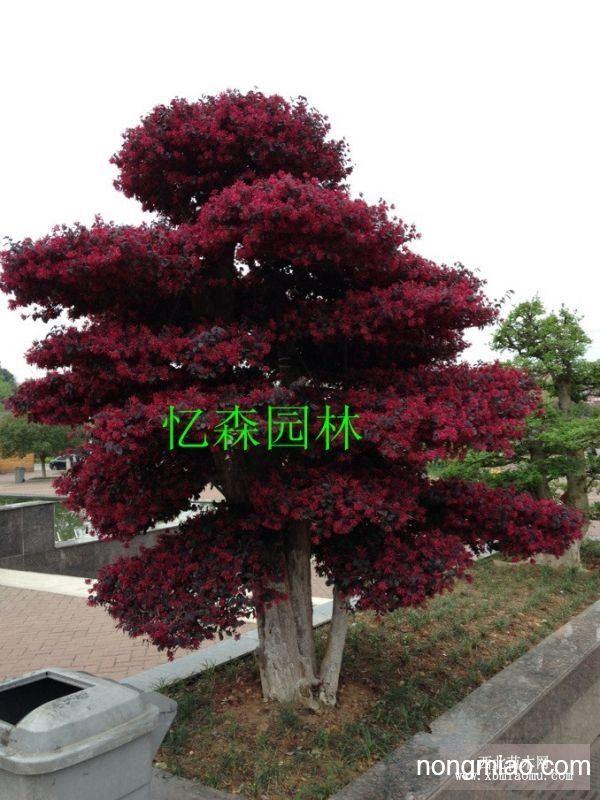 红花继木高桩-红花继木造型古桩-造型红花继木树