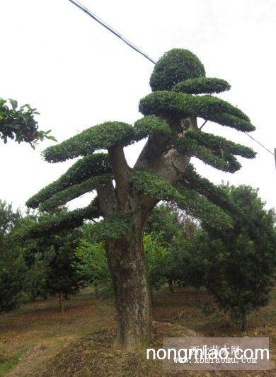 湖南造型榆树 嫁接榔榆 嫁接榆树造型 杨梅树