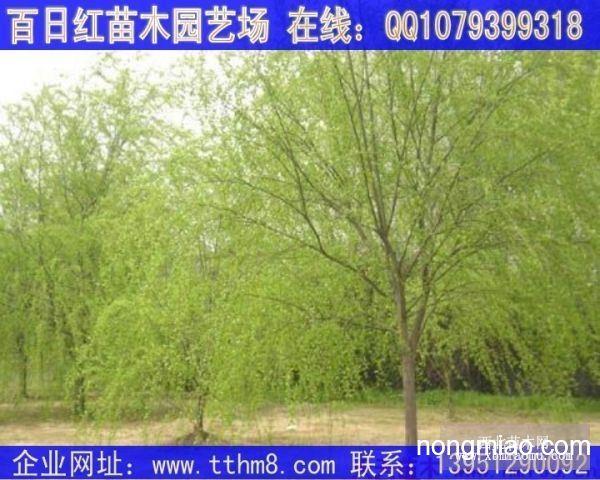 江苏柳树,柳树价格,柳树图片,柳树基地,柳树小苗