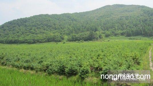 云杉 云杉图片及价格-吉林省桦甸市苗木基地八道河子