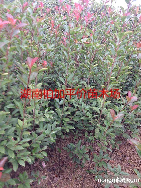 红叶石楠工程苗 红叶石楠价格 红叶石楠大树 湖南红叶石楠图片