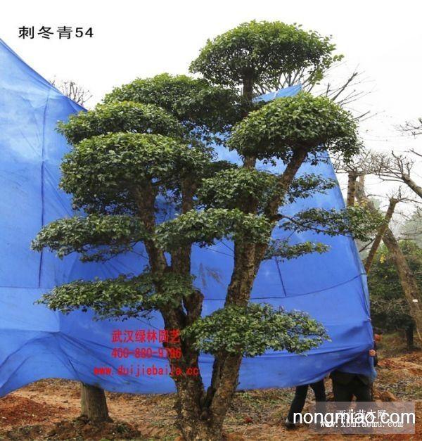 刺冬青景观树,园林树种|冬青图片及价格-小花苑盆景