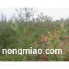 2015植树节石榴苗促销中