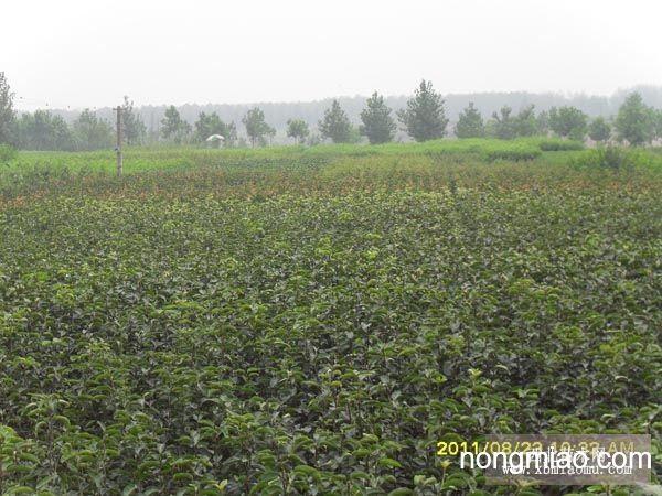 盆栽容器苗木的固定
