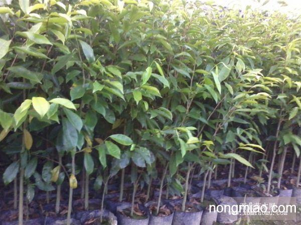 沉香苗,沉香种子,沉香树,广东茂名沉香场