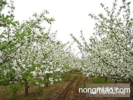 小苹果树,123树,桦树,盆景树,杏树,椴树等