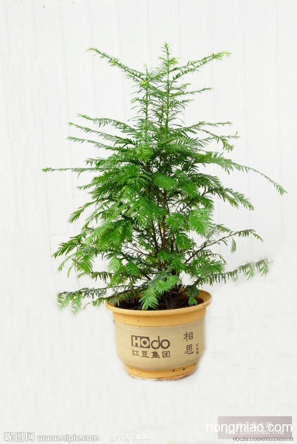 红豆杉树苗
