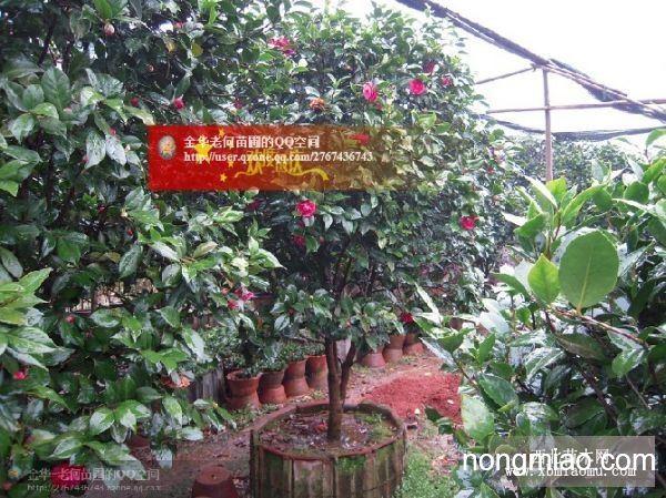 六角大红茶花,油茶嫁接