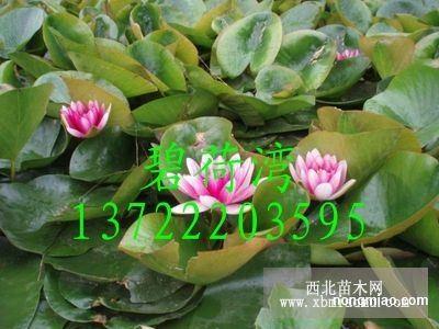 睡莲的种植方法|睡莲图片及价格-安新县碧荷湾水生