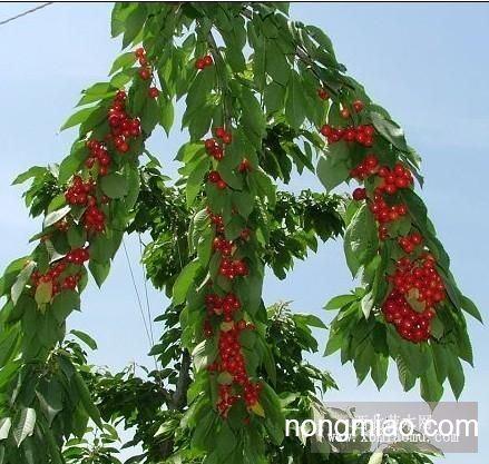 樱桃树苗图片