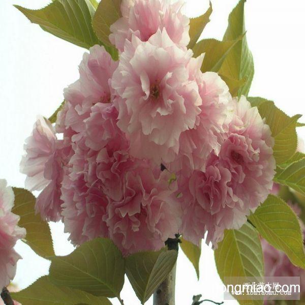 怎样折纸樱花