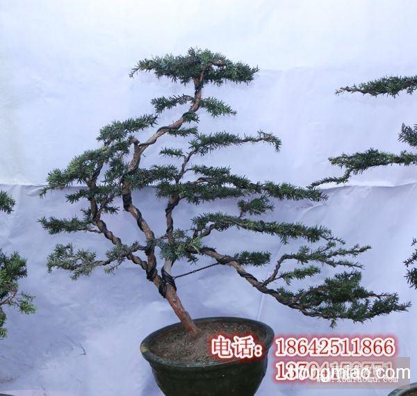 丹东红豆杉盆景,大树
