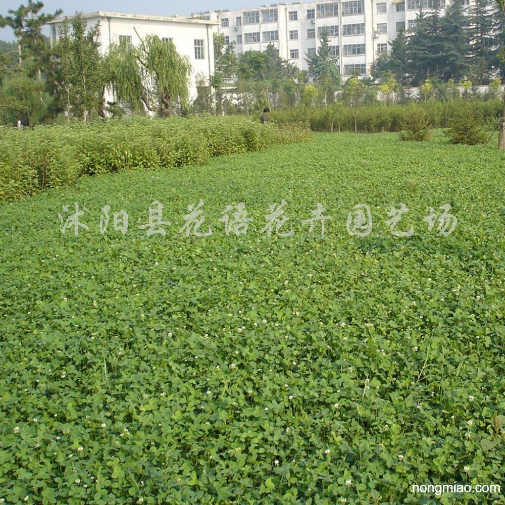 供应白三叶 大叶油草 黑麦草等草坪
