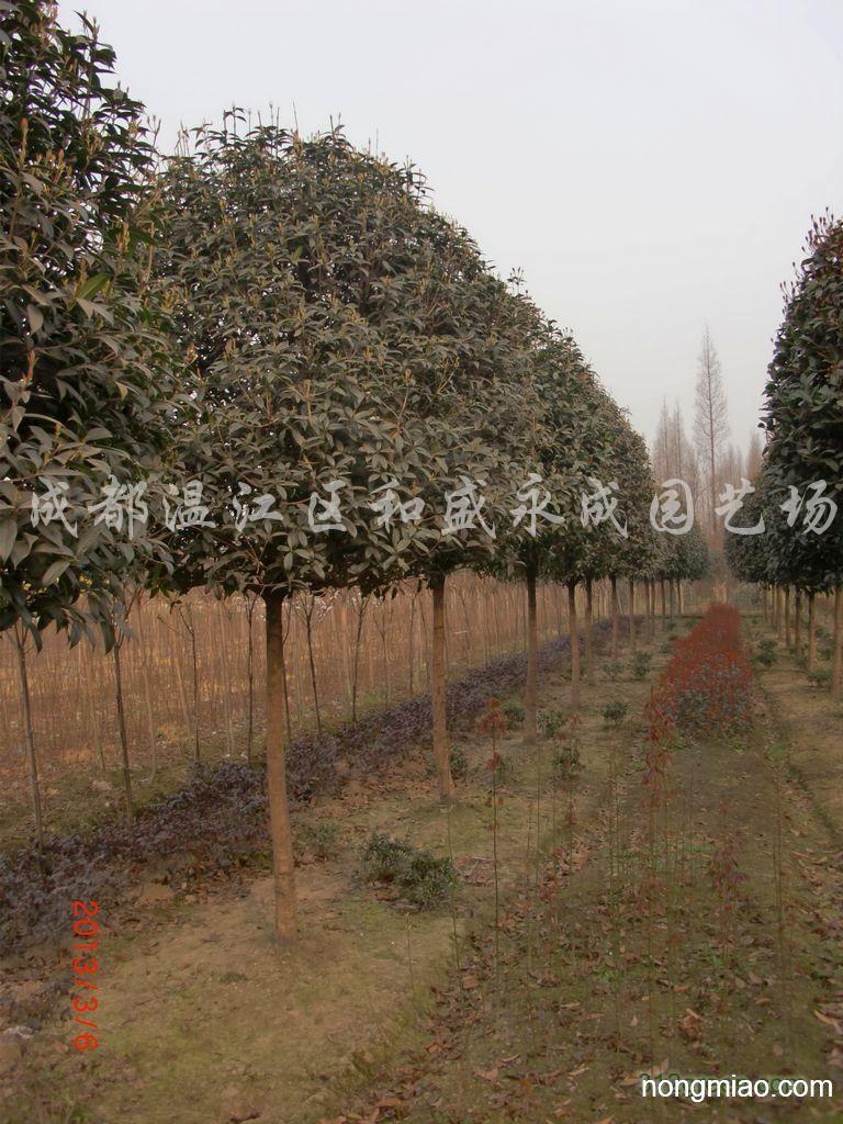 全年红地径8公分的红枫价格?