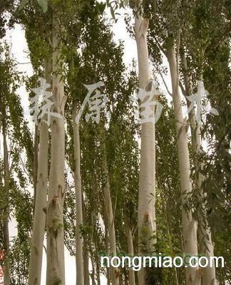 壁纸 树 桦林 桦树 324_400
