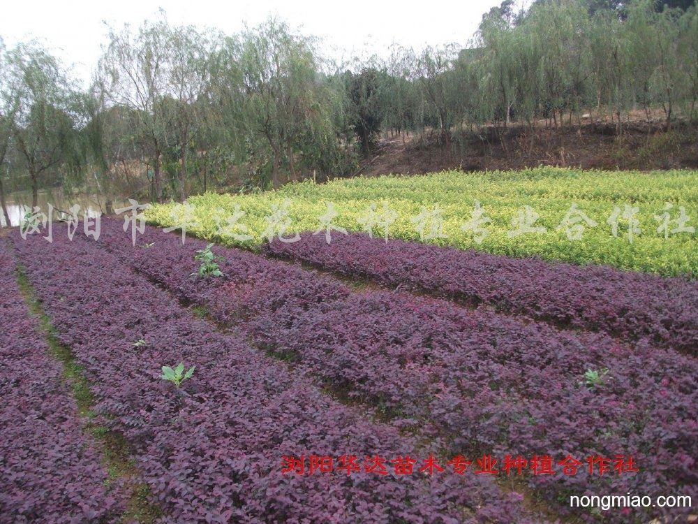 供应红继木|红继木图片及价格-园林绿化|苗木销售