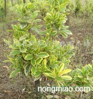 供应金边黄杨绿化苗木|大叶黄杨图片及价格-沭阳县园