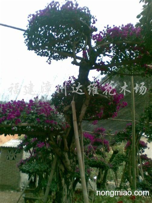 供应紫花三角梅