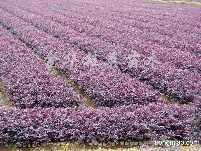 优质江苏红花檵木价格