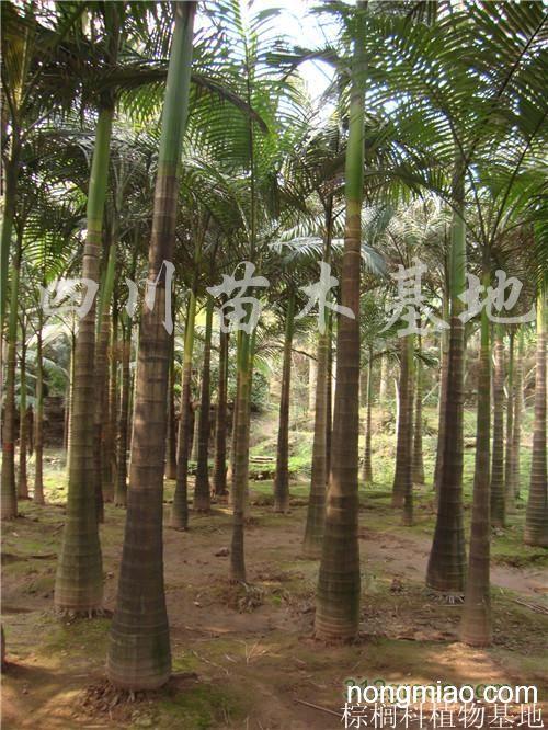 供应假槟榔,10-25公分假槟榔树