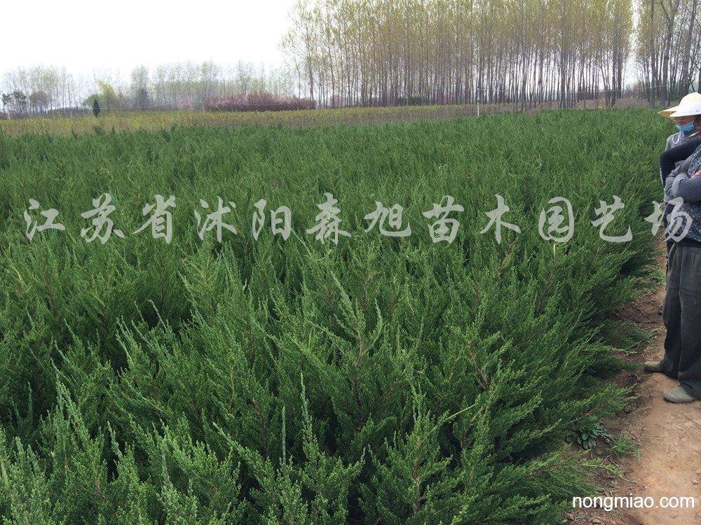 供应小龙柏|龙柏图片及价格-江苏省沭阳森旭苗木园艺