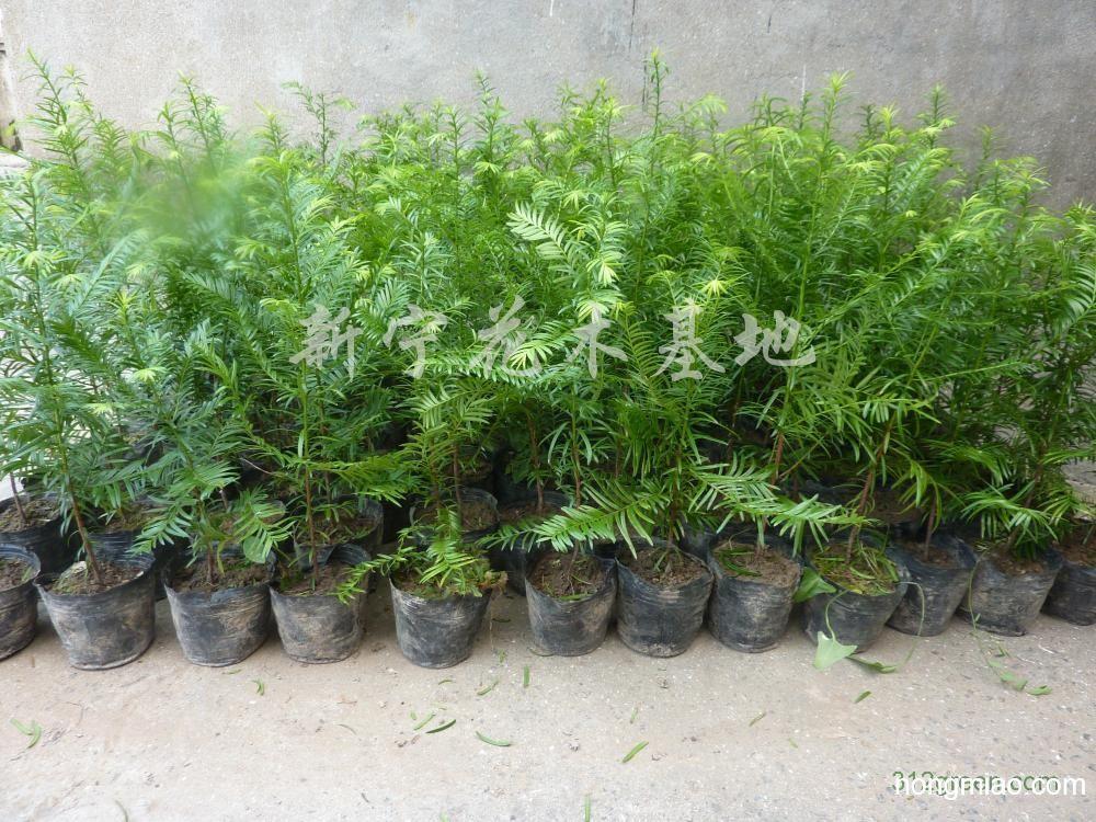 供应红豆杉小苗|红豆杉图片及价格-新宁花木基地