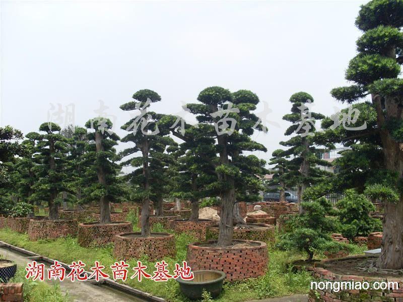供应红花继木树桩,造型红继木,造型榆树,树桩盆景